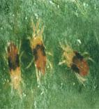 Çilekte Kırmızı Örümcekler